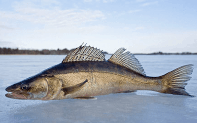 What depth should you ice fish for walleye?