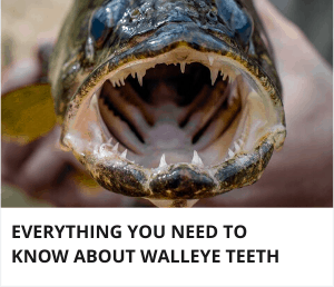 Do walleye have teeth