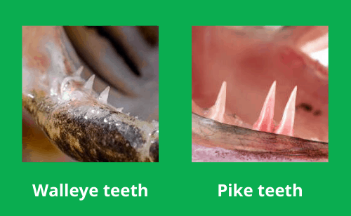 Photo comparing walleye with pike teeth side by side