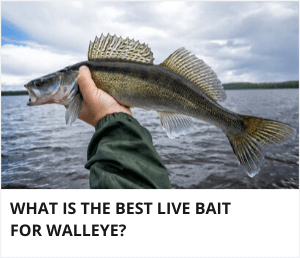 best live bait for walleye