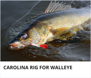 Carolina rig for walleye