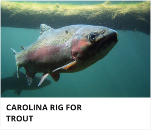 Carolina rig for trout