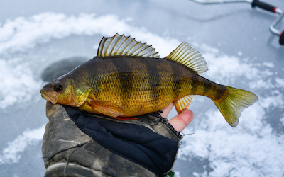Ice fishing rigs for perch