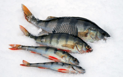 How long can you keep ungutted fish on ice?
